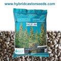 híbrido castor cultivo de semillas