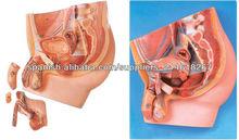 Modelo de la sección sagital mediana pelvis masculina