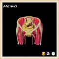 la cavidad pélvica femenina en los órganos humanos anatomía modelo de órgano de