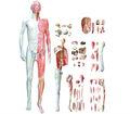 Con anatomía modelo del cuerpo humano a nivel visceral