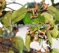 japonés de pasas de uva de semillas de árboles etract en materia de salud y médicos