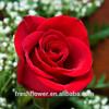 /p-detail/corte-de-la-exportaci%C3%B3n-de-flores-frescas-de-color-rojo-flor-color-de-rosa-de-china-300003691046.html