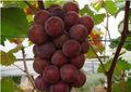 Sementes de uva extrato de polifenóis com 95% por uv