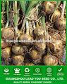 AON precio 011 de madurez temprana semillas de cebolla híbrida Huangyan