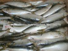 sardinas frescas congeladas pescado para la venta