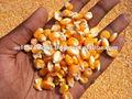 Maízamarillo/de maíz para la alimentación animal