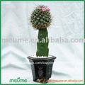 mini injertados cactus plantas suculentas plantasdeinterior vivero