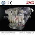suministro dental: dientes y modelos dentales modelos de educación dental