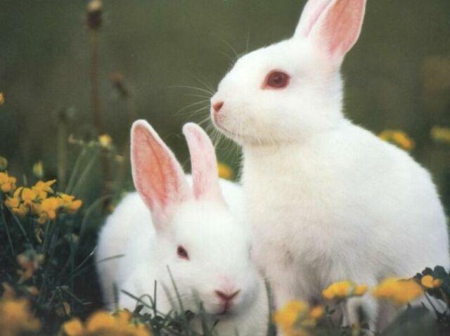 Altex Rabbits
