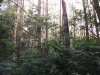 Sumatran Pine | RM.