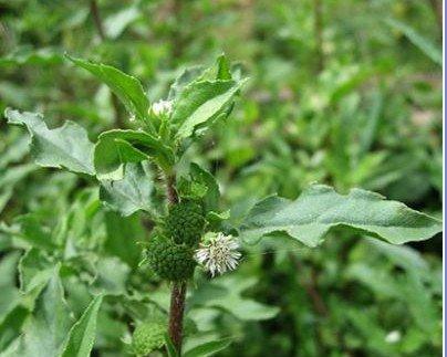 Ayurvedic herbs for high blood sugar
