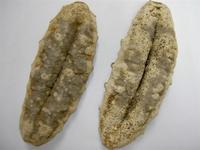 Seacucumber Or Teripang