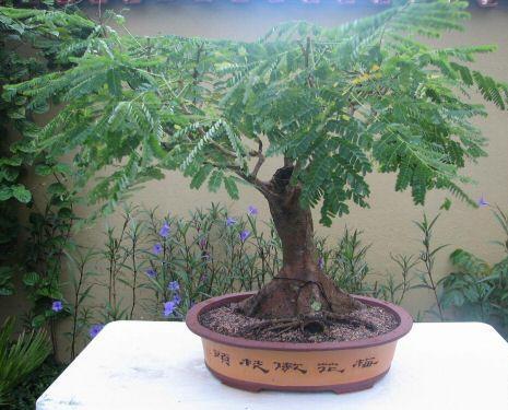 bonsai famboyant flamboyan