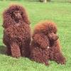 Poodle Breeds