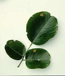 Red Sandal Wood Leaf