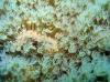 Live Cultured Coral-Sarcophyton