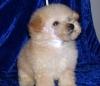 Poodle Apricot Puppy Male
