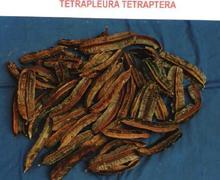 Tetrapleura Tetraptera or Aridan Fruits
