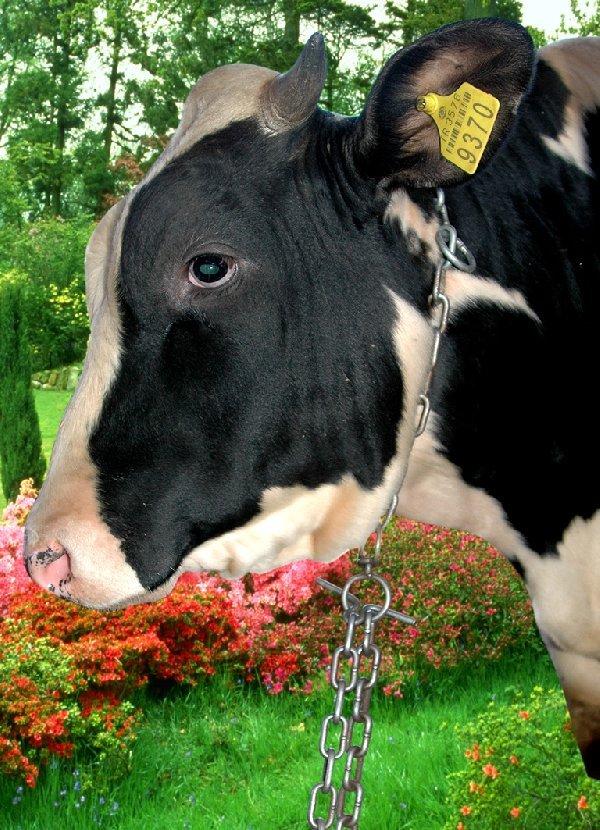 Cow Chain