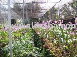 Dendrobium Anggrek Tanaman Hias