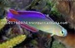Gobio púrpura Firefish/especie de los pescados de agua salada