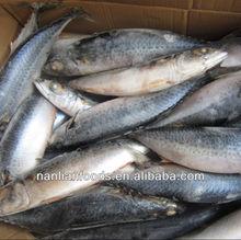 newly 400-600g mackerel fish wholesale