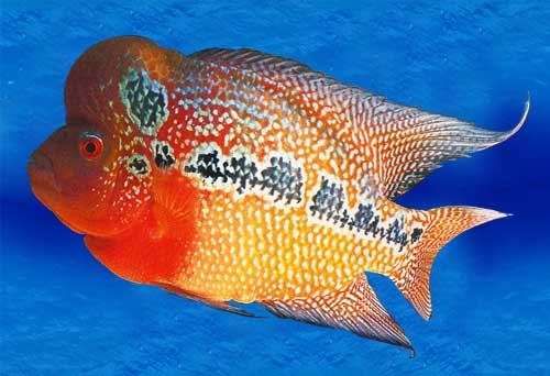 Unverified supplier wildfire m sdn bhd for Flower horn fish price