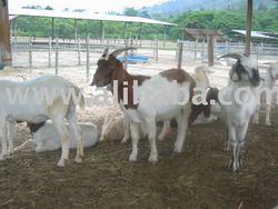Boer / Jamanapari / Jawarando / Kacang Goats