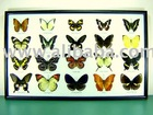 Mounted Real Colorful A1 Butterfly, Wall Hanging Frame
