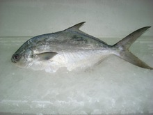 Cobia, red drum, trout, pampano