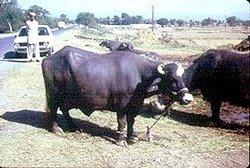 Buffaloes ( Neeli Ravi )