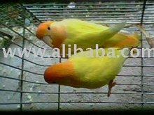 African Opaline Birds
