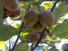 !(Super Deals)sell Chinese Gooseberry,kiwi fruit fuzzy green variety,Hayward ,actinidia berry