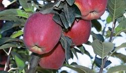 Starkrimson Delicious apple