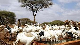 Somali Goats for Eid Mubarak