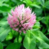 Red Clover Extract/Trifolium pratense/Isoflavone
