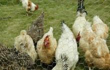 Hexagonal Chicken Coop Wire Netting