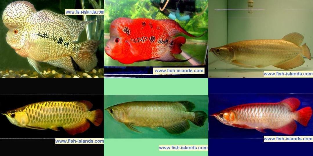 Arowana Fish Farm - Bu...