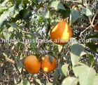"Mandarin ""Kinnow"" Orange"