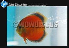 San Merah Discus Fish