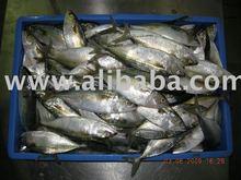 Ruban de poisson et indienne maquereau