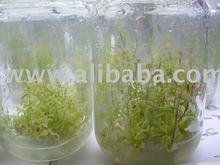 stevia plant in vitro