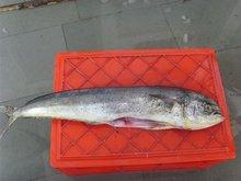 Frozen Head on Gutted Mahi Mahi Fish