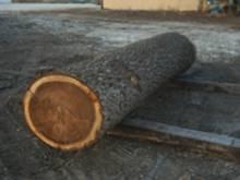 Walnut Veneer & Saw Logs
