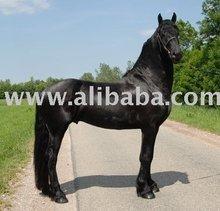 Trained Freisian Horse