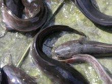 benih ikan keli, ikan keli, cat fish, keli