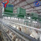 egg layering chicks