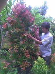 olieana../pucuk merah