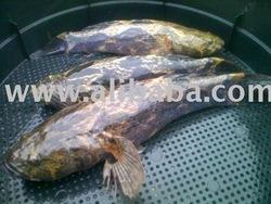 Benih Ikan Ketutu, Talapia, Keli