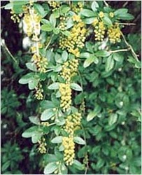 Berberis Aristata / Indian Barberry for Sale